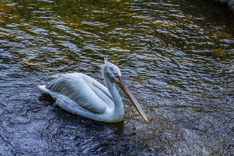 White Pelican swims in the water. Wild birds stock photo