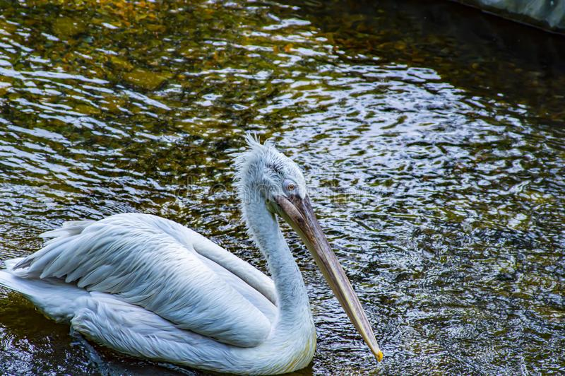 White Pelican swims in the water. Wild birds stock photography