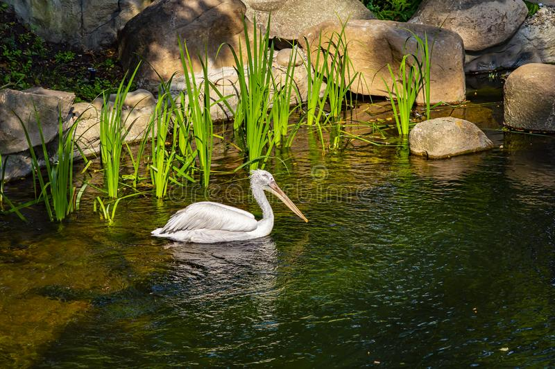 White Pelican swims in the water. Wild birds stock images
