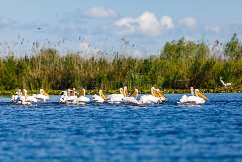 White pelicans in Danube Delta. Landscape photo of white pelicans in Danube Delta stock photo