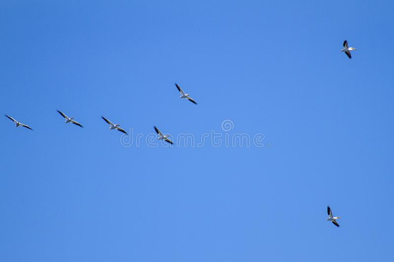 White Pelicans Flying Formation royalty free stock photo