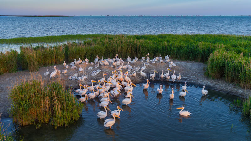 White pelicans pelecanus onocrotalus in Danube Delta Romania royalty free stock photo