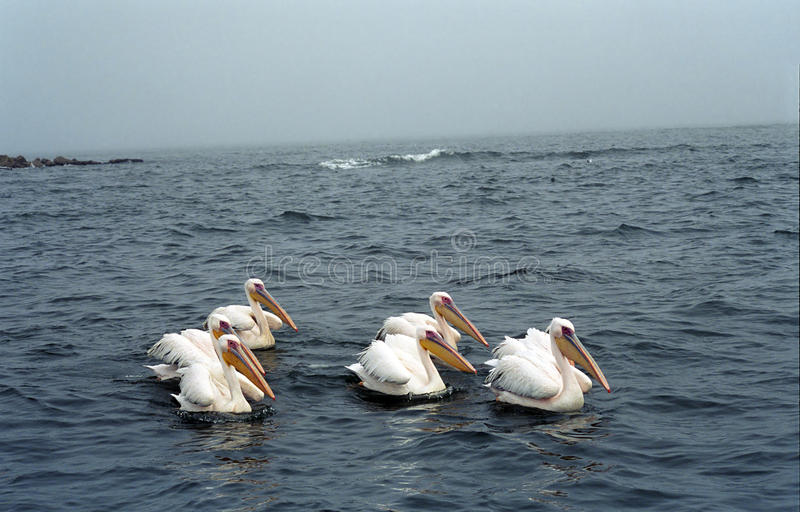 Download White Pelicans, Pelican Bay, Namibia Stock Image - Image: 10912921