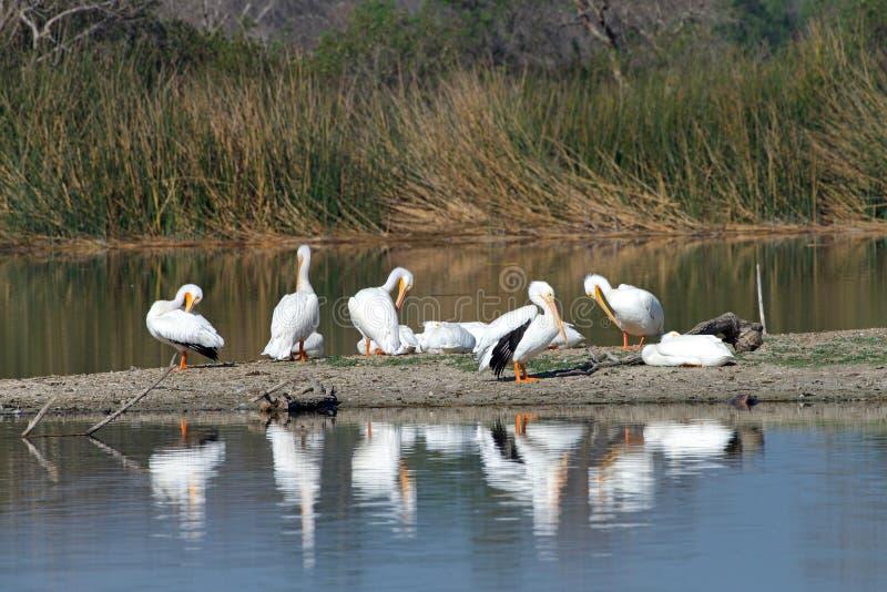 Many white pelicans preening on a marsh land beach stock photo