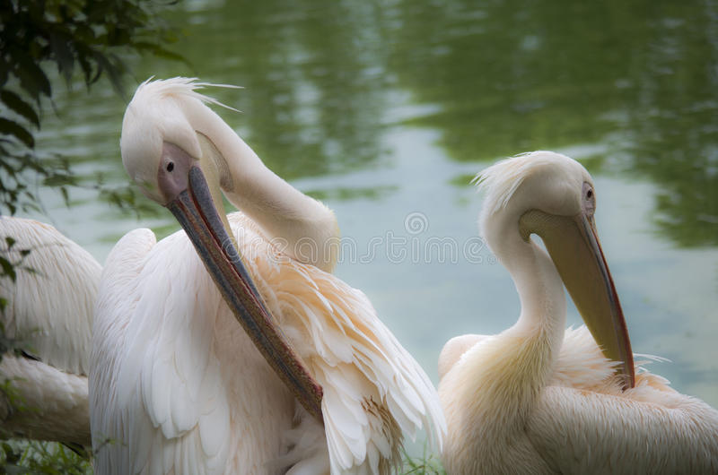 White Pelicans. Relaxing at the side of a lake stock photo