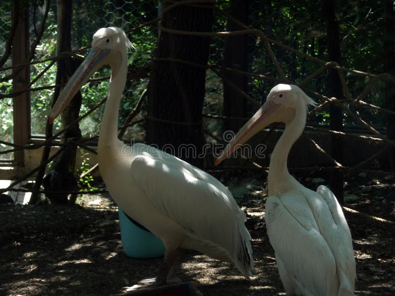 White pelicans. Safari Park. Kabardinka Black Sea resort. Russia. August 2017 year royalty free stock image