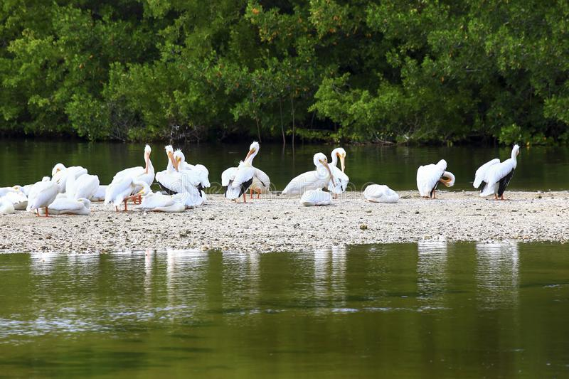 White Pelicans on Sandbar stock photography