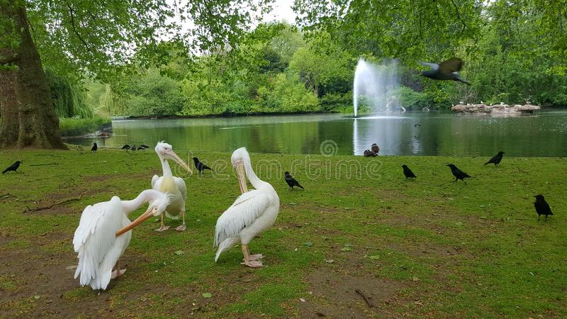 White pelicans in St. James Park, London, England. White pelicans standing next to pond in St. James Park in London, England on sunny day royalty free stock photos