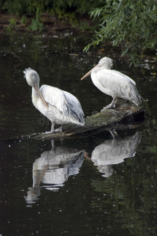 White pelicans by water stock image