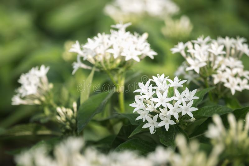 White Pentas lanceolata or Egyptian star cluster flowers blooming in garden.  stock photos