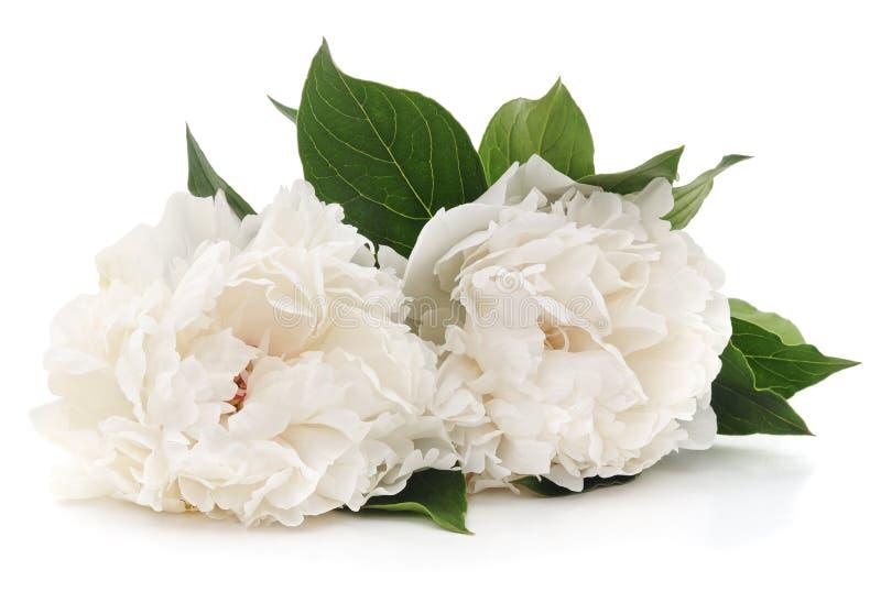 White peonies. stock photo
