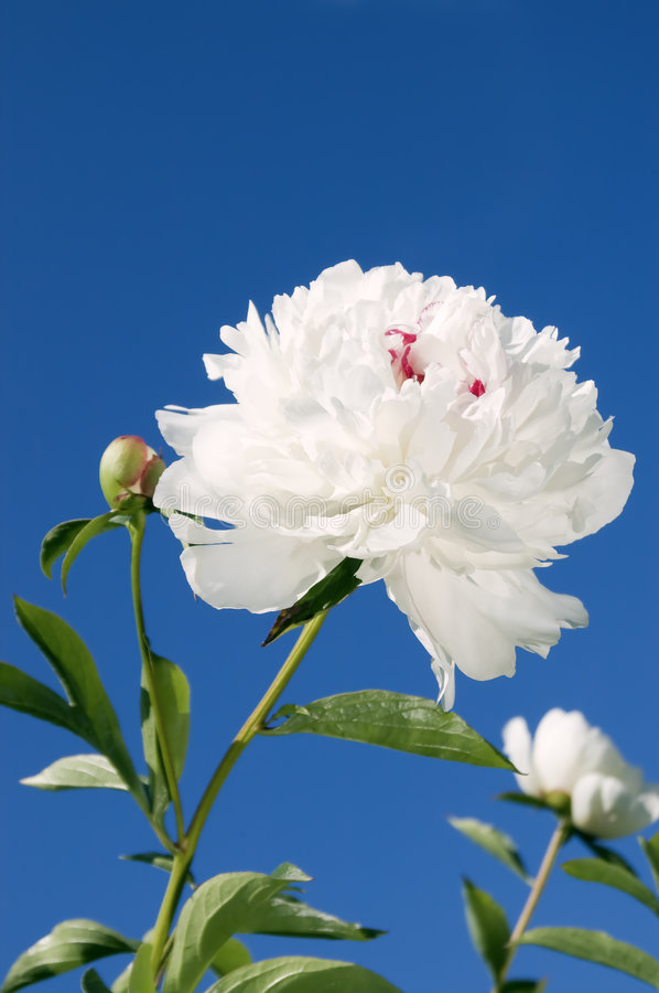 White peony. The Flower of the peony under the blue sky royalty free stock photos