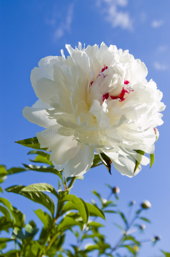 White peony. The Flower of the peony under the blue sky royalty free stock photo