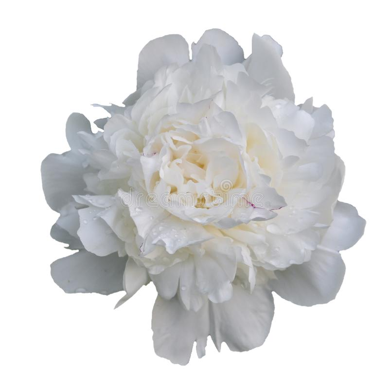 White peony flower Perennial plant with large beautiful flowers. Close-up. Floral, beauty, bloom, petal, spring, summer, background, blossom, garden, nature stock images