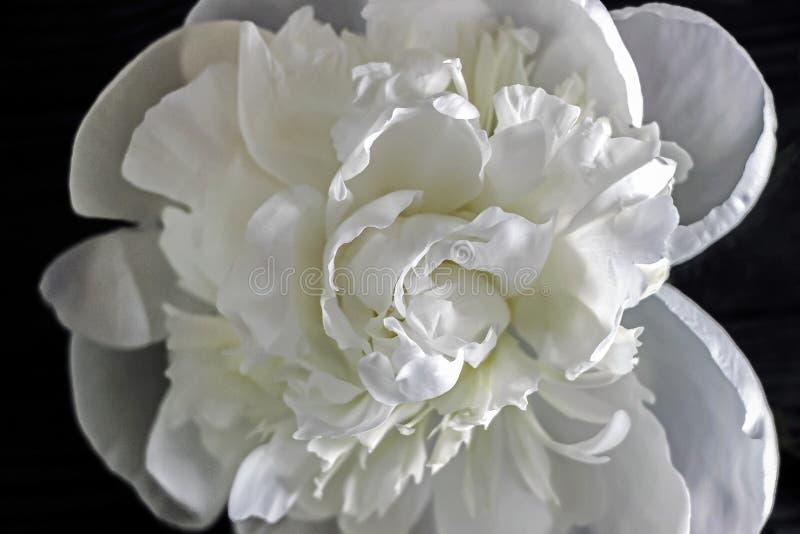 White peony flowers with black background stock image image of download white peony flowers with black background stock image image of blossom white mightylinksfo