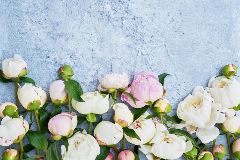 White peony flowers border on blue background. Holiday background, copy space, top view. Greeting card. White peony flowers border on blue background. Mothers stock image