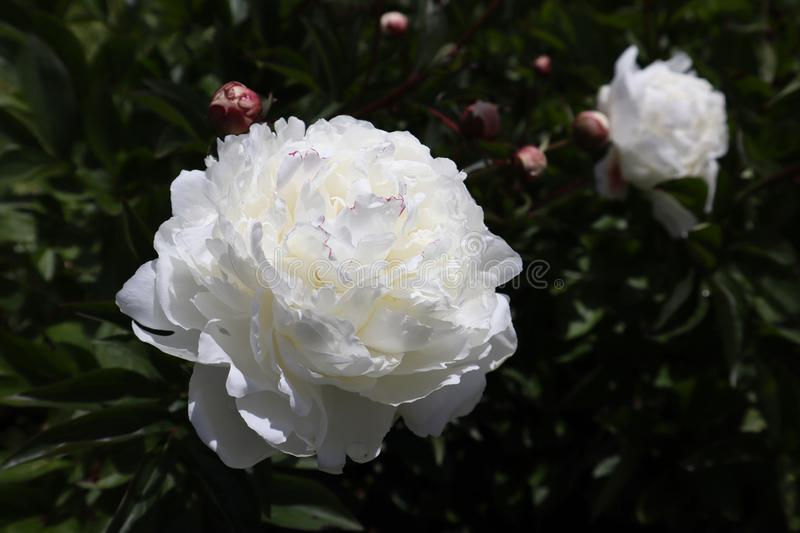 White Peony Flowers Growing in Garden royalty free stock images