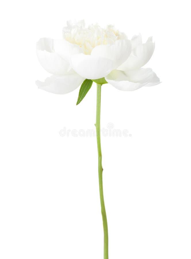 White peony isolated on white background.  royalty free stock image