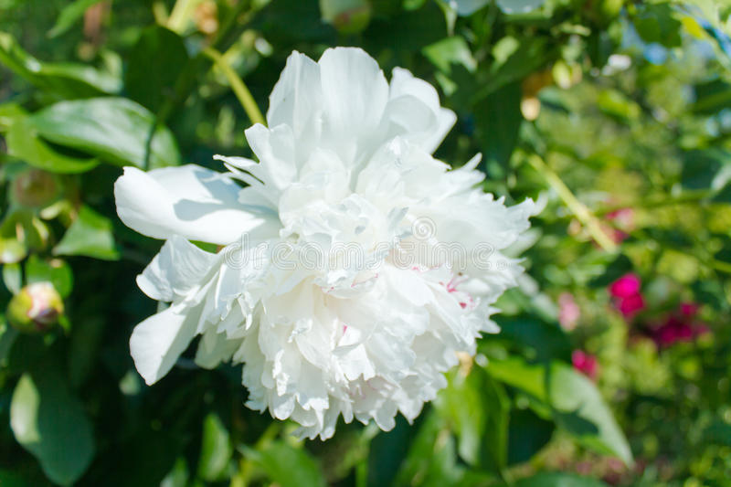 White peony. Large peony in the garden stock photo
