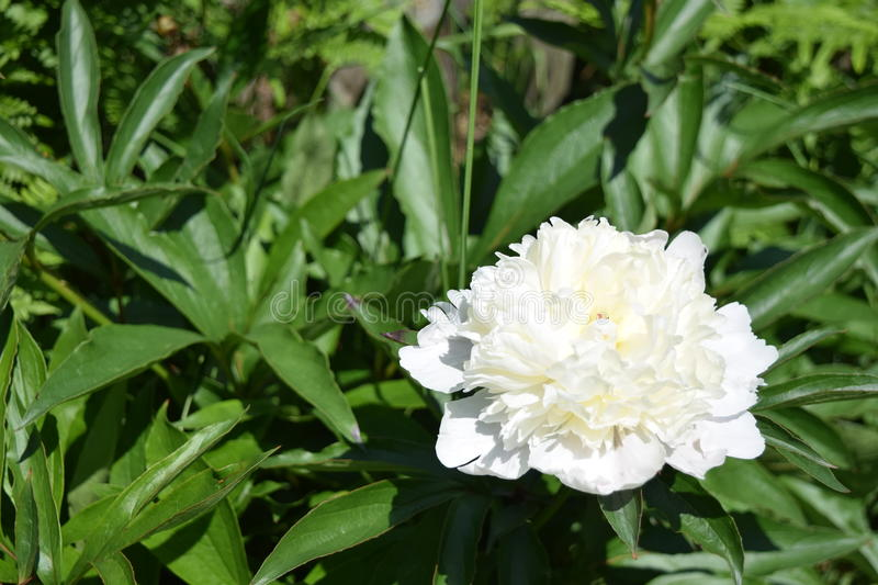 White Peony royalty free stock photography