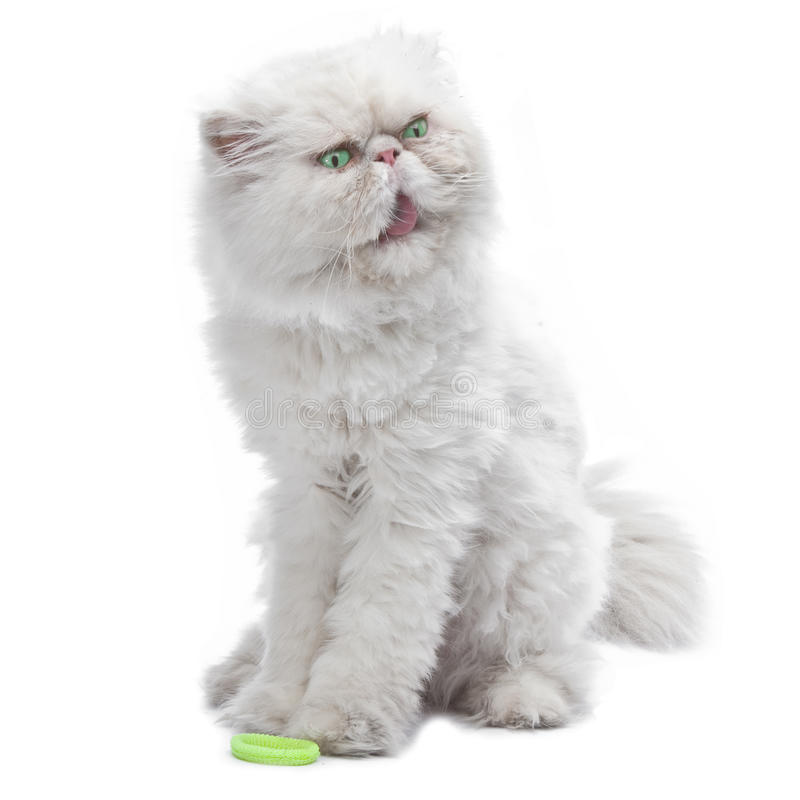 White Persian cat. Close up on a white background stock photography