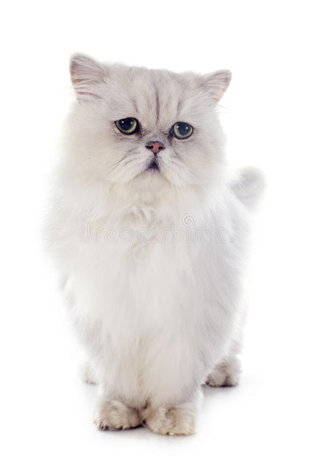 Free White Persian Cat Royalty Free Stock Photography - 35515577