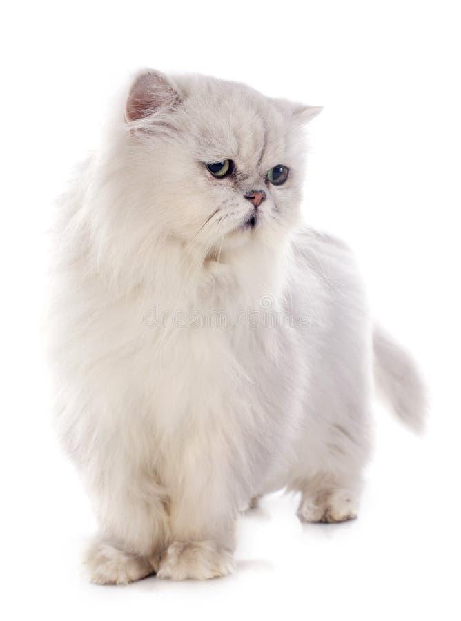 Free White Persian Cat Royalty Free Stock Image - 35515586