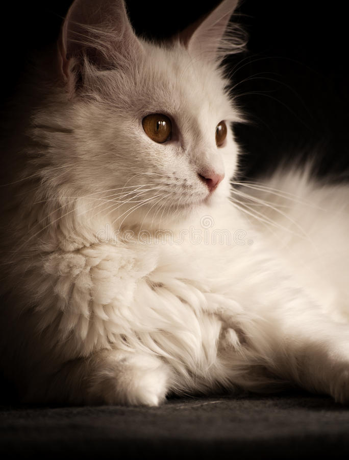 Download White Persian Cat Royalty Free Stock Photo - Image: 31984425