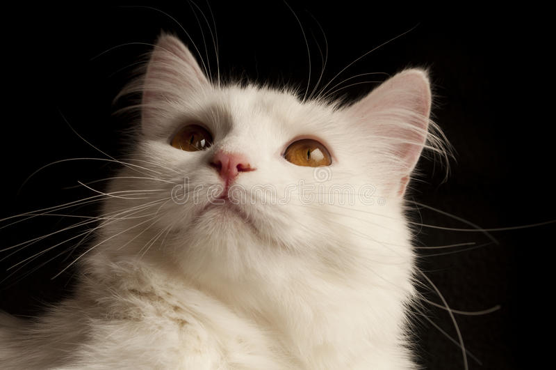 Download White persian cat stock photo. Image of beautiful, animal - 31984428