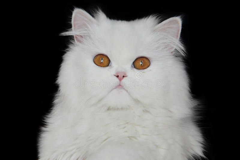 White persian cat stock image