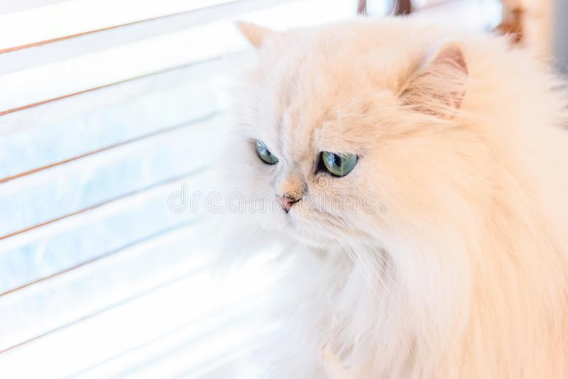 White Persian cats stock photo