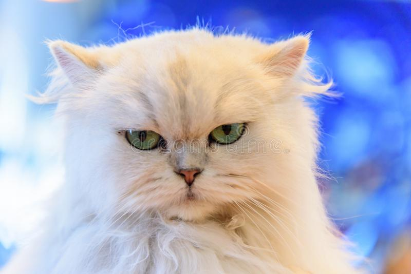 White Persian cats stock images