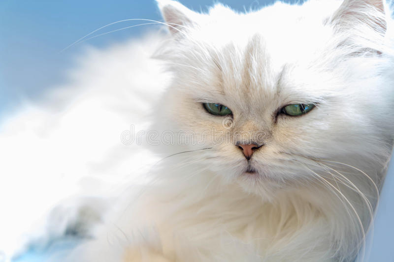 White Persian cats. On the floor royalty free stock images