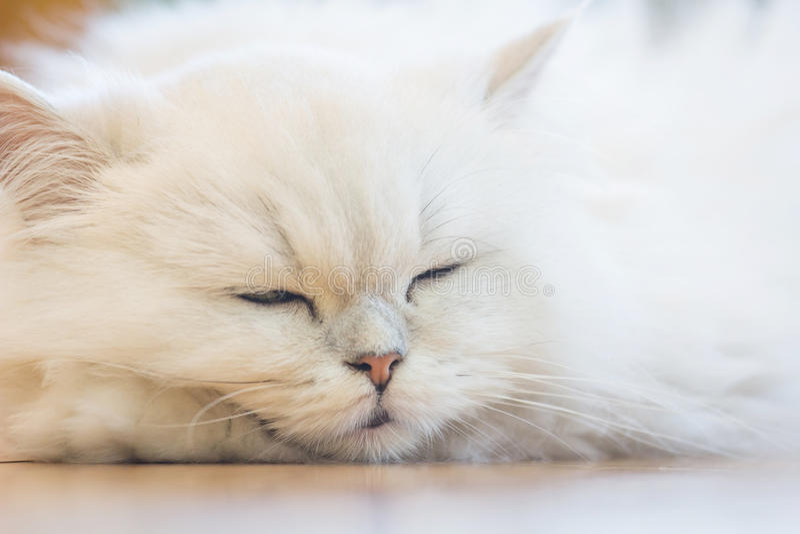 White Persian cats royalty free stock photo
