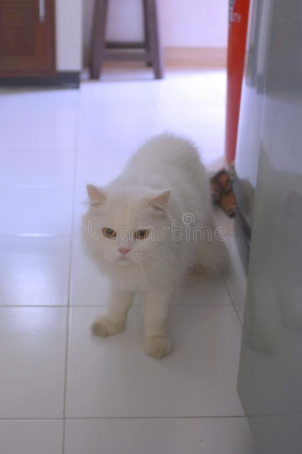 White Persian cats on the floor royalty free stock images