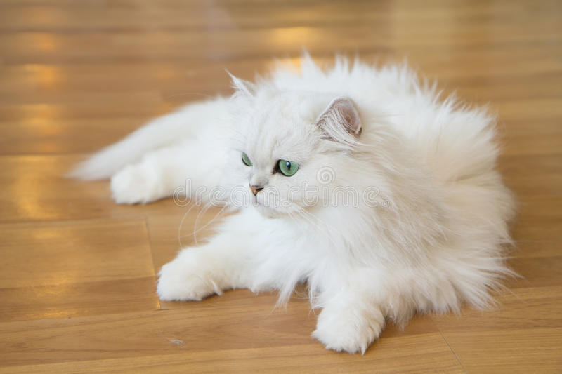 White Persian cats. Lovely White Persian cats on the floor stock photos
