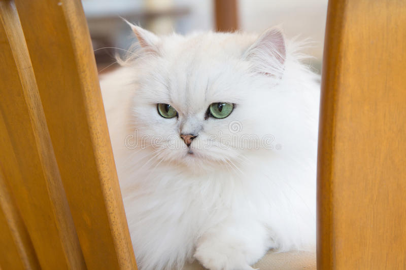 White Persian cats. Selective focus to White Persian cats stock photography