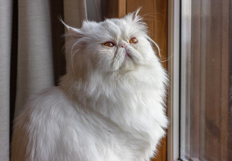 White Persian Exot cat with long hair. Cute pet looks out the window stock image