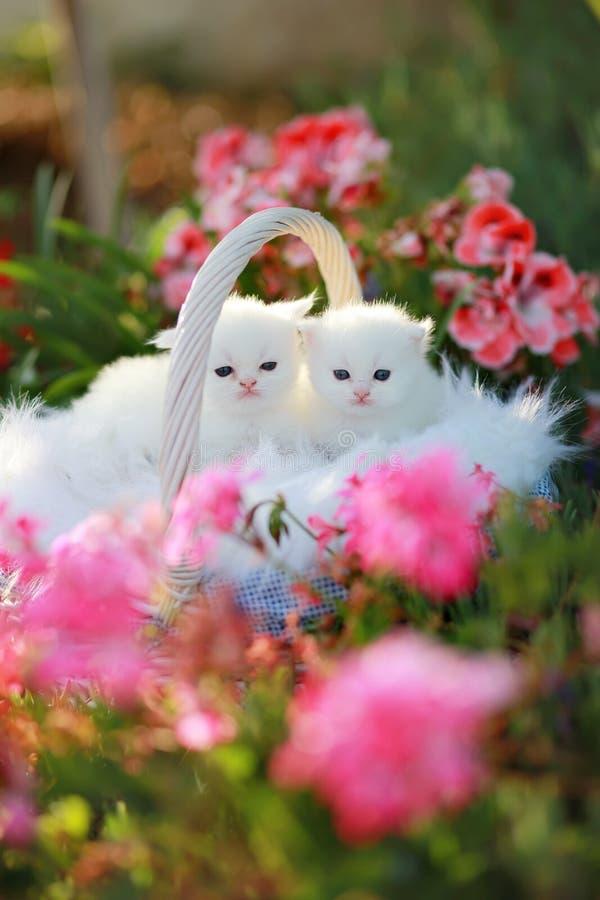 White persian kittens stock photo