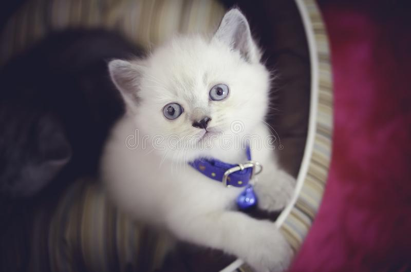 White persian shorthair kitten with blue eyes sitting on bed in a pink background looking at the camera royalty free stock photography