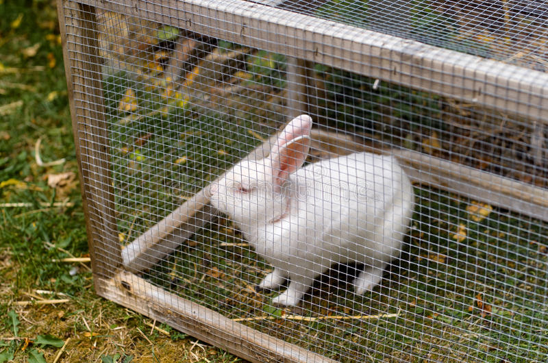 White pet rabbit royalty free stock photography