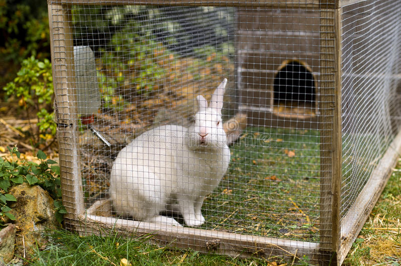 White pet rabbit royalty free stock images