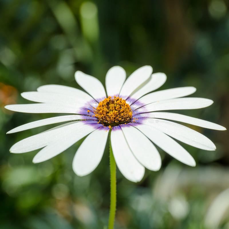 White petal flower. Close up of white and purple petal flower royalty free stock photo