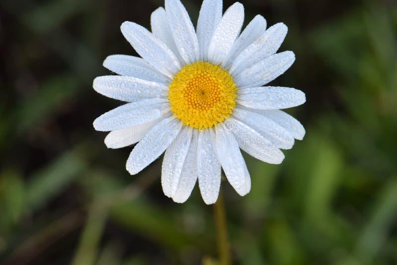White Petaled Daisy 02. White petaled Daisy flower with yellow eye on dark green foliage royalty free stock photos