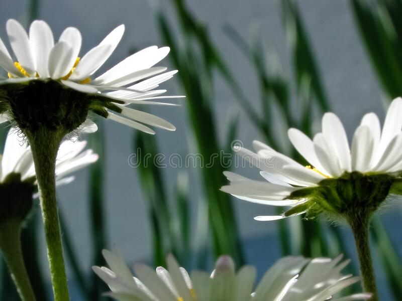 White Petaled Flower Free Public Domain Cc0 Image