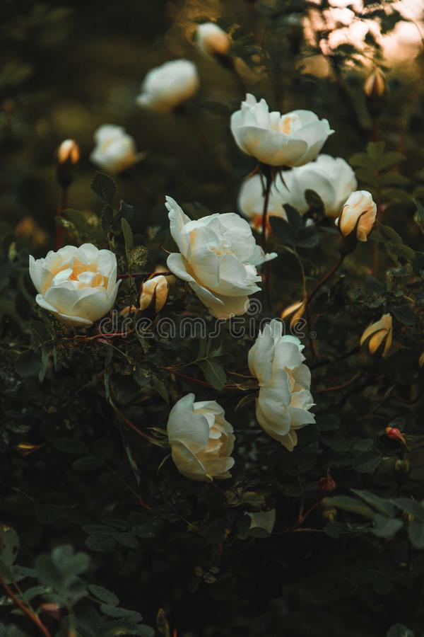 White Petaled Flowers stock photo
