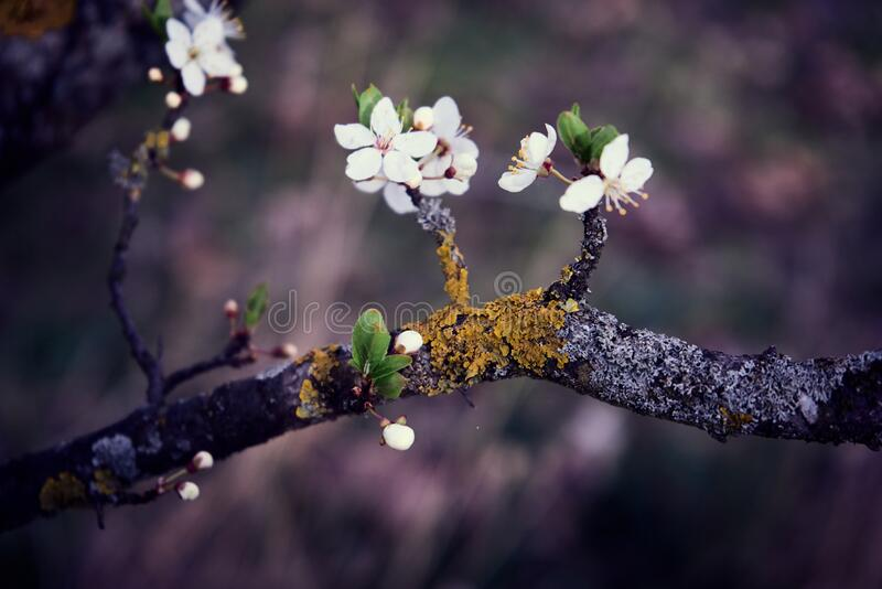 White petaled flowers on a branch covered with yellow moss. Selective focus stock photos