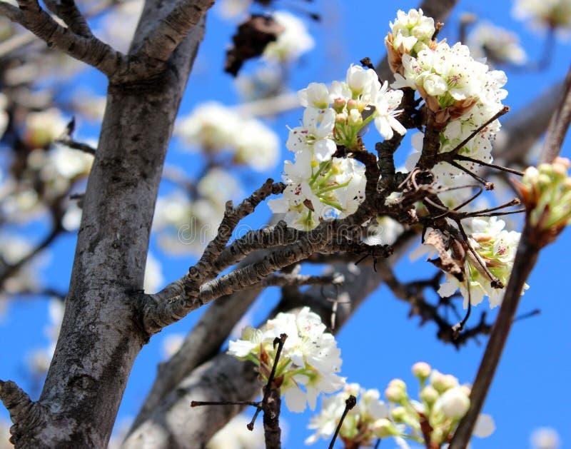 White Petaled Flowers on Tree royalty free stock photo