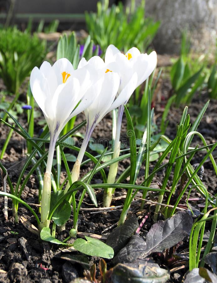 White pure crocus in my garden stock images