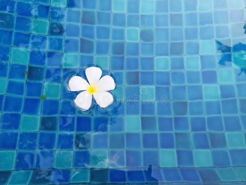 White petals of fragrant Plumeria flower plant on waving vivid turquoise blue water in the swimming pool above blue color tiles stock photography